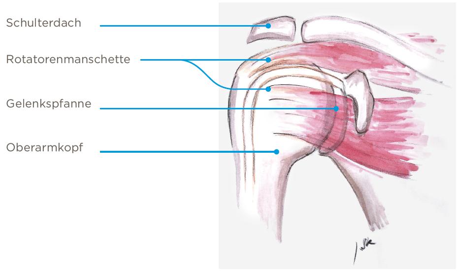 Schulterprothese Anatomie der Schulter